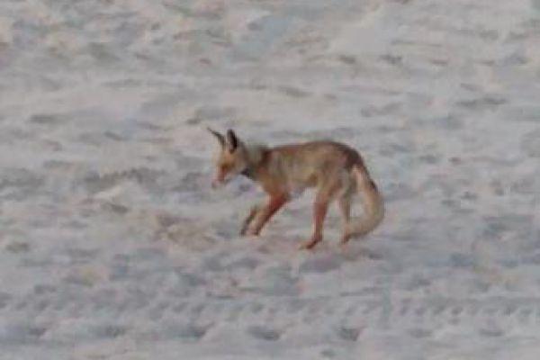 השועל התגבר על הפקחים וטרף את ביצי צבת הים