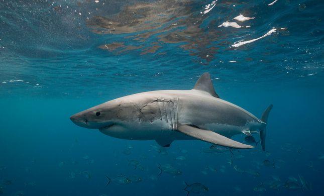 """אסון באוסטרליה: גולש בים מת לאחר שהותקף ע""""י כריש"""