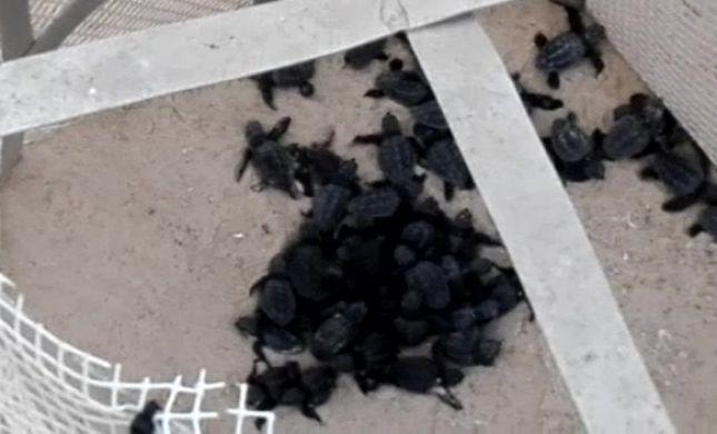 תגידו מזל טוב: עשרות צבים בקעו מהקן בחוף פלמחים