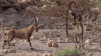 ארץ ישראל יפה, טיולים מרהיב: קרבות יעלים זכרים בשמורת עין גדי. צפו