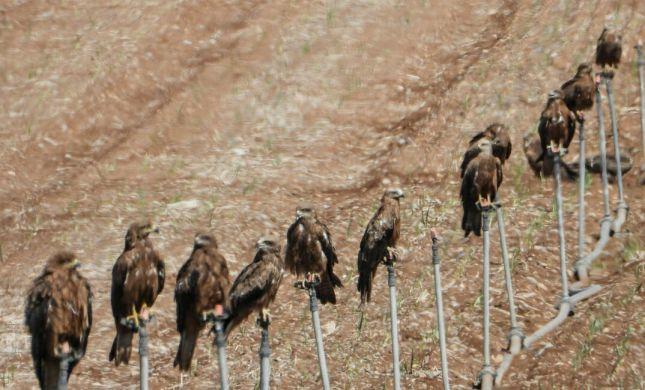 תמונת היום: שורת דיות שחורות נחות בעמק הירדן