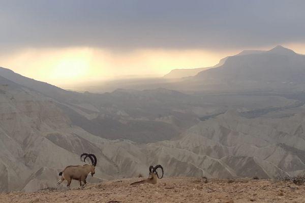 תמונת היום: עדר יעלים במדרשת בן גוריון בנגב