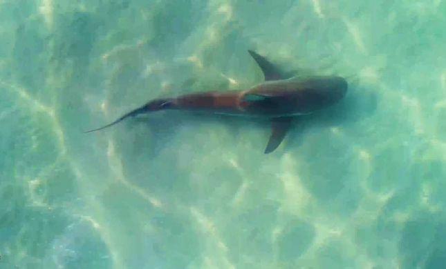 צפו: להקת כרישים שוחה בחוף הים בחדרה