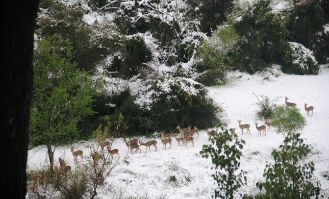 תמונת היום: עדר צבאים בשלג בירושלים