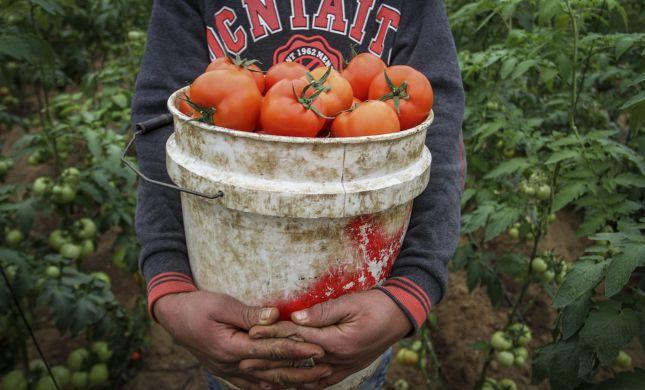 """""""הקנייה מרצועת עזה מחסלת את ענף העגבניות"""""""