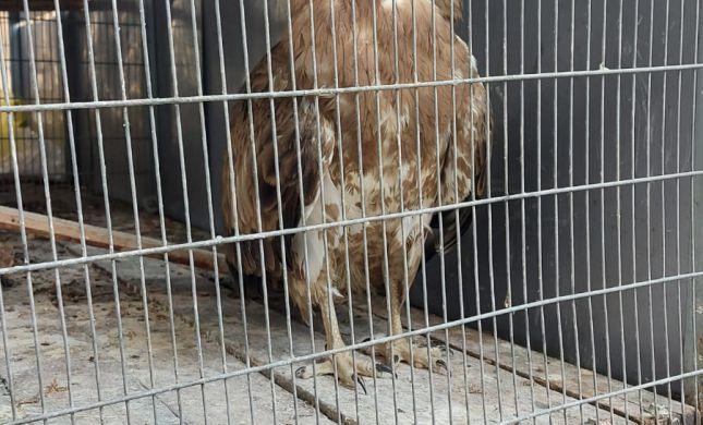 נתפס: תושב אום אל פאחם החזיק בביתו עוף דורס מוגן