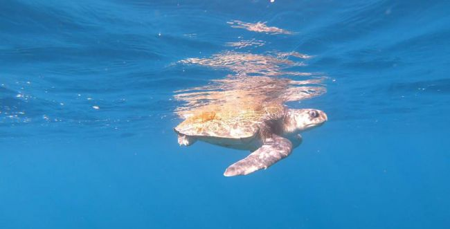 התיירות חזרה לאילת: צבת ים נדירה נצפתה במפרץ