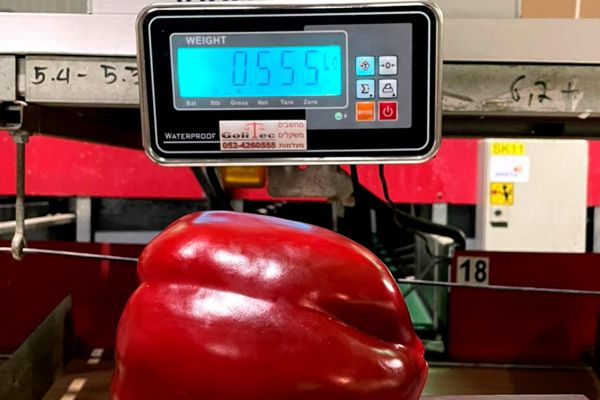 שיא גינס בערבה? פלפל אדום שוקל יותר מחצי קילו