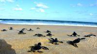 ארץ ישראל יפה, טיולים מרגש: 99 צבים ירוקים הושבו לים