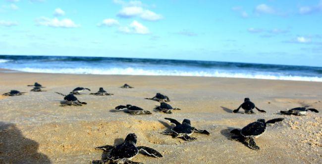 מרגש: 99 צבים ירוקים הושבו לים