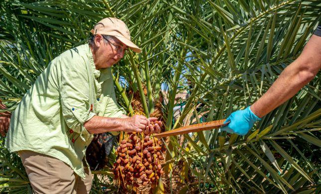 אחרי 2,000 שנה: חוקרים שיחזרו עץ תמר מבית שני