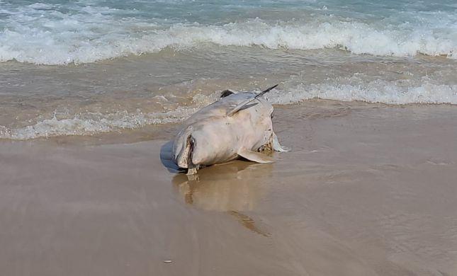 עצוב: דולפין נמצא מת על החוף סמוך לכפר גלים