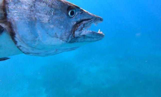 דרמה במפרץ אילת: דג ענק נתפס ונגרר על ידי דייג