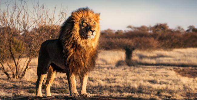 בהלה בגן החיות: אריות ונמרים נדבקו בקורונה