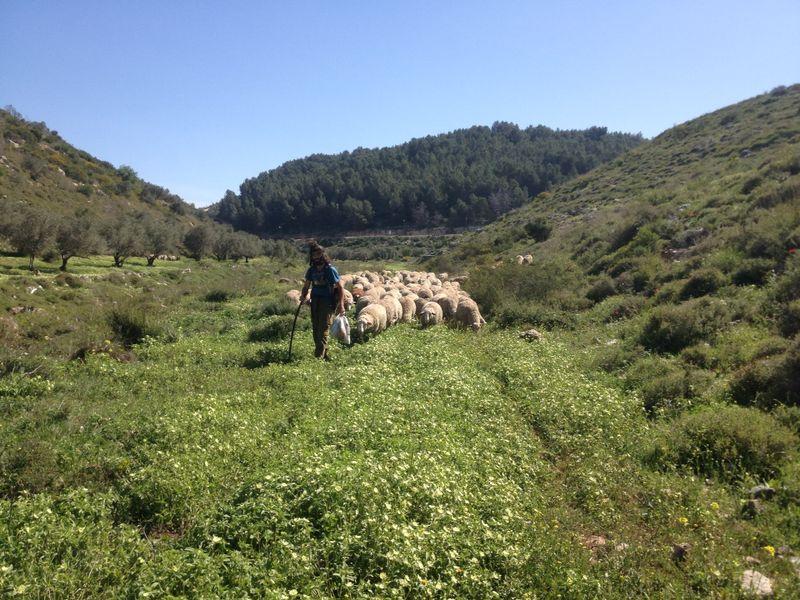 רועה יהודי בעמק דותן 2 קרדיט יאיר אלמקייס