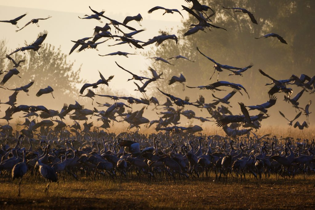 Thousands of cranes seen in the Hula Valley, northern Israel. Tens of thousands of cranes stay in the reserve each year on their way from Europe to Africa, early on December 9, 2016. Photo by Doron Horowitz/Flash90 *** Local Caption *** אגמון  חולה  עגורים   נדידה
